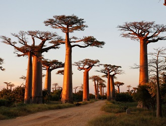 Walk around the avenue of Baobabs